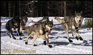 qualobo-siberian-huskies-2010