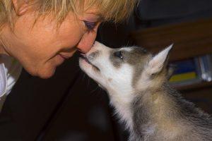 qualobo-siberian-huskies